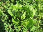 rvg-tng-061908-lettuce