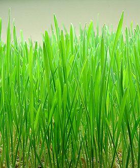 275px-wheatgrass
