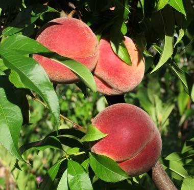 georgia_peaches-usa