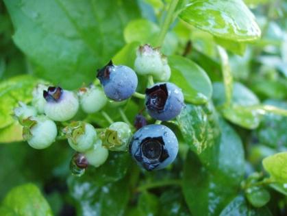 maturing_blueberry