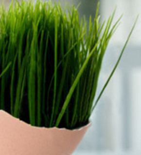 wheat-grass-in-egg-285px_medium1