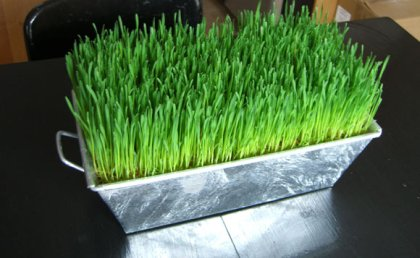wheat_grass